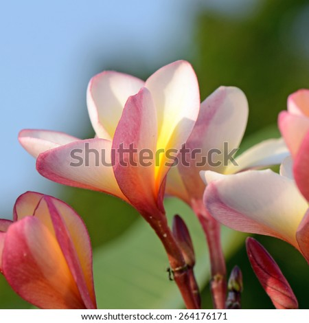 Pink and yellow Plumeria spp. (frangipani flowers, Frangipani, Pagoda tree or Temple tree) with rain drops on natural background. - stock photo