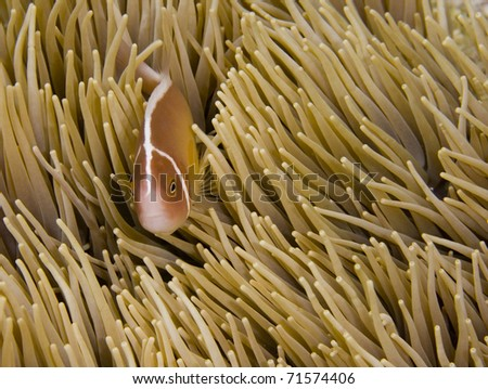 Pink anemonefish (Amphiprion perideraion) looking into the camera while hiding in a cream anemone. Taken in the Wakatobi, Indonesia