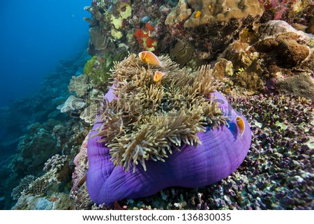 Pink Anemonefish (Amphiprion perideraion) on a Magnificent Sea Anemone (Heteractis magnifica) in the Ulong Channel off the islands of Palau in Micronesia. - stock photo