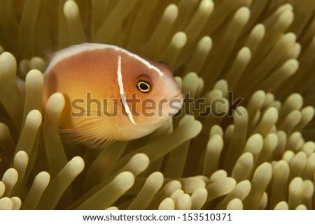 Pink Anemonefish (Amphiprion perideraion) peaking out of it's anemone on a tropical coral reef in Bali, Indonesia. - stock photo