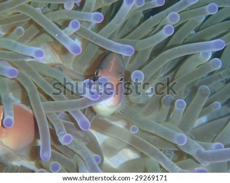 Pink anomone fish - Pacific Ocean, Thailand - stock photo