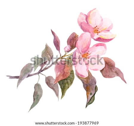 Pink apple tree flower. Watercolor hand painted drawing - stock photo