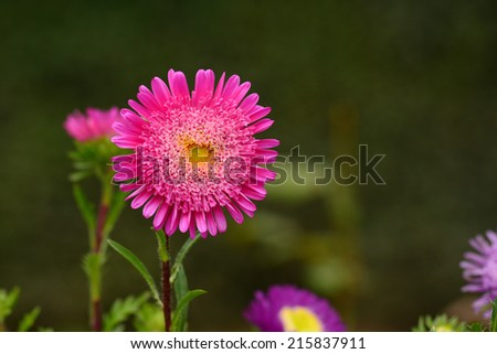 Pink Aster blooming in the garden - stock photo