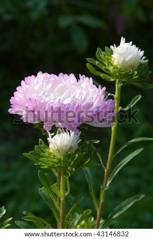 Pink aster on a green background