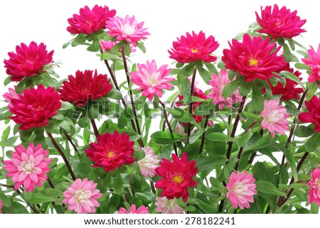 Pink asters isolated on white background  - stock photo