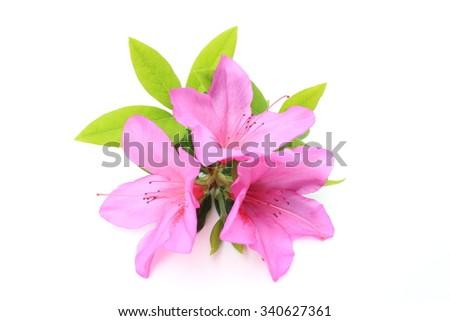 Pink azalea - stock photo