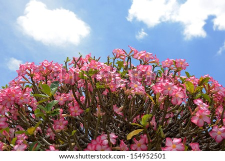 pink Azalea flowers with blue sky from thailand - stock photo