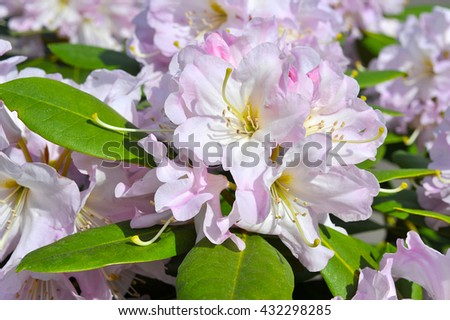 Pink Azalea, Rhododendron in the park, spring - stock photo