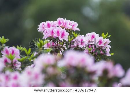 Pink azaleas - stock photo