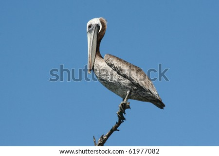 Pink-backed Pelican (Pelecanus rufescens) - stock photo