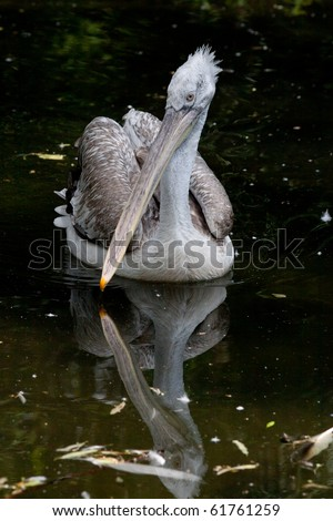 Pink-backed Pelican (Pelecanus rufescens)  by the lake. - stock photo