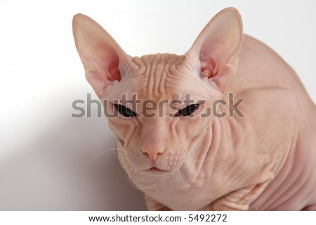 pink bald  cat of breed of donskoy sphinx - stock photo