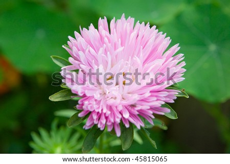 Pink beautiful aster growing in the garden - stock photo