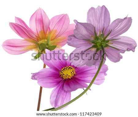 Pink beautiful flowers on a white background