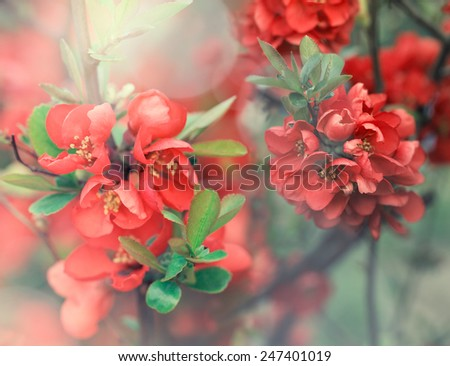 Pink beautiful japanese cherry flower flowers blooming in the spring with sunlight - stock photo