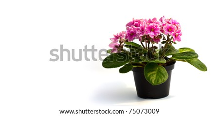 Pink Beautiful Orchid in a pot on a white background - stock photo