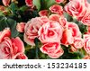 Pink begonia flowerson closeup detail background. - stock photo