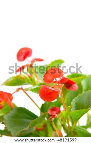 Pink begonia isolated on a white background