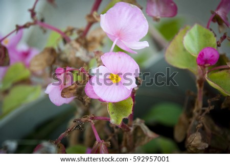 Pink Begonia, 'Prelude Pink'