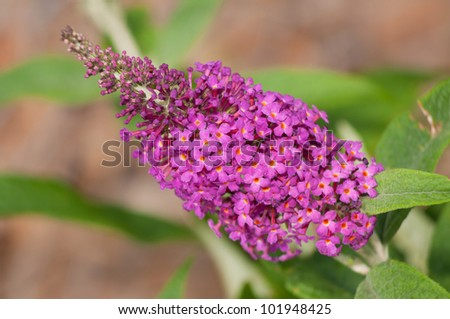 Pink bloom of a Butterfly Bush - stock photo