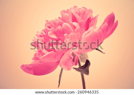 Pink blooming flower bud close up - stock photo