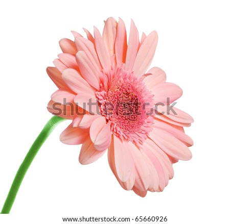 Pink blooming gerbera isolated on white - stock photo