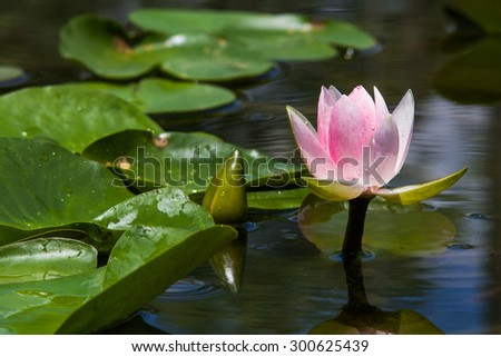 Pink blooming lotus and Unopened lotus blossom emerge from the water. And green leaves, some of which were slightly blurred - stock photo
