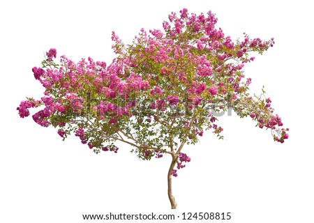 pink blooming tree isolated on white background - stock photo