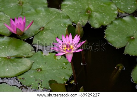 pink blooming water lily in pond