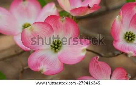 Pink blooms on the flowering dogwood tree, cornus, cornaceae - stock photo