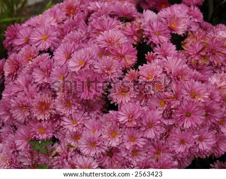 pink blossom - stock photo