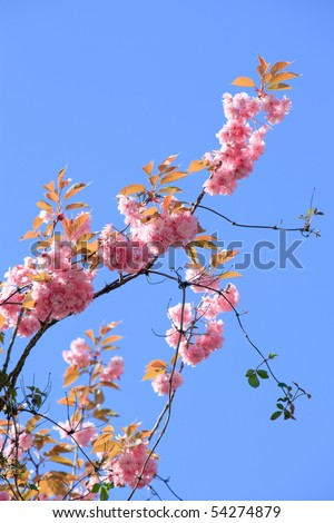 Pink blossom against blue sky - stock photo