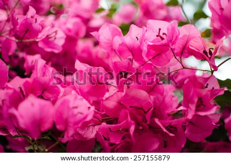 Pink Blossom of Bougainvillea Plant Close Up - stock photo