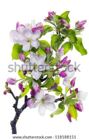 Pink blossom spring tree branch isolated macro - stock photo