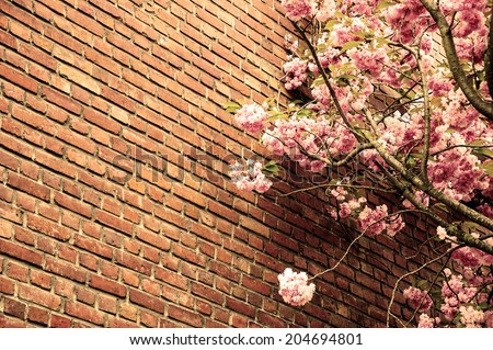 Pink blossoming tree (Prunus Triloba) against old red brick wall. Aged photo. Sepia. - stock photo