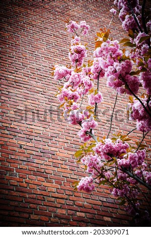 Pink blossoming tree (Prunus Triloba) against old red brick wall. Vignette frame. - stock photo