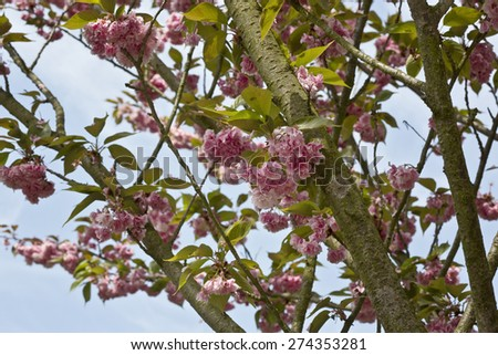 Pink blossoms covered tree