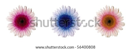 Pink, blue and orange gerbera flowers on white horizontally - stock photo