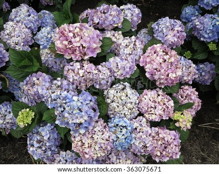 Pink blue purple and white hydrangea