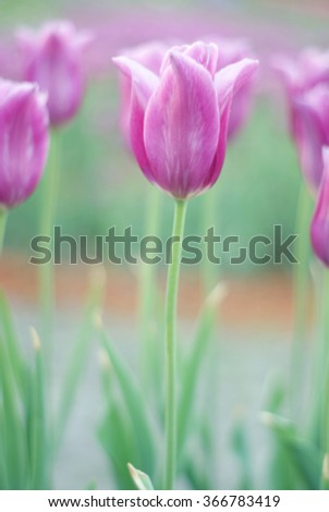 Pink blurred tulips on green background. Blurred floral texture