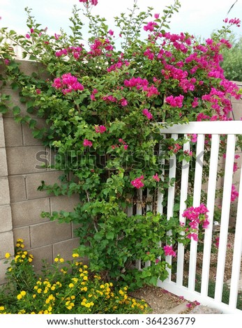 Pink bougainvillea and yellow lantana plant in full bloom