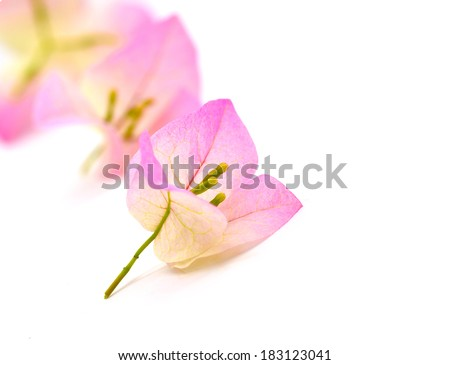 pink bougainvillea close up on white background