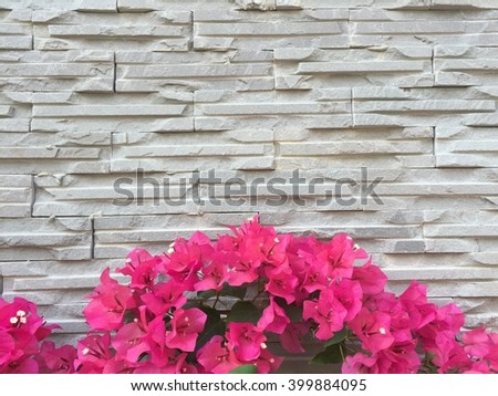 Pink Bougainvillea Flower cover white brick wall - stock photo