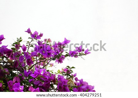 Pink bougainvillea flower on white background:select focus with shallow depth of field:ideal use for background.