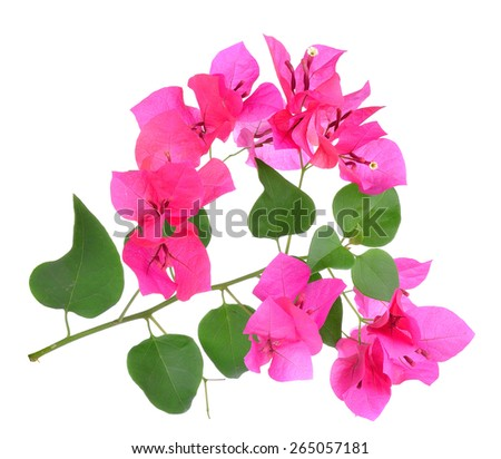 Pink Bougainvillea flowers isolated on white background. - stock photo