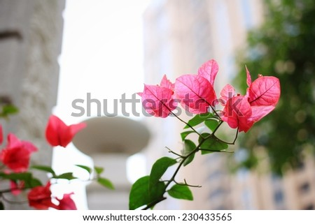 Pink Bougainvillea flowers �¯�¼?Located in the cell�¯�¼? - stock photo