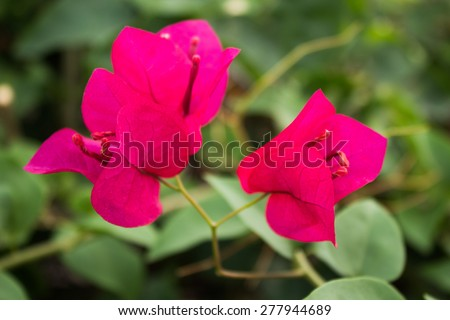 Pink Bougainvillea flowers, Select the focus - stock photo