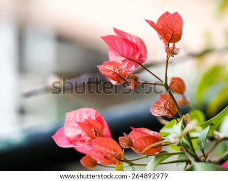Pink Bougainvillea glabra Choisy flower with leaves Beautiful Paper Flower vintage in the garden ,grass background blurry,Asian flowers - stock photo