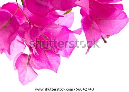 Pink Bougainvillea on white background - stock photo