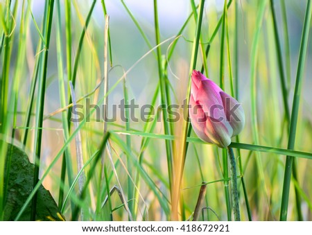pink budding lotus flowers in clump of grass green - stock photo